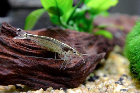 Closeup of a female specimen of Amano Shrimp in the aquarium Stockfoto