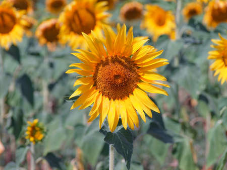Close up of a sunflower in the cultivated field as spring concept.