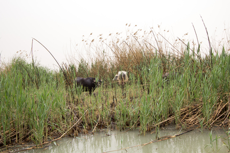 marshes: Image marshes of Iraq in Dhi Qar province, which is located south of Iraq, Show where water bodies and Cane papyrus, and Animals of buffalo.