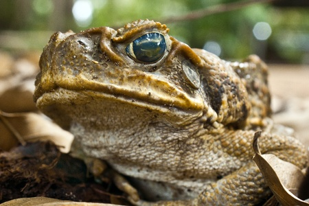 Wide angle close up of Australian Cane Toad Stock Photo