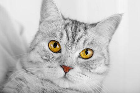 Fluffy gray beautiful adult cat, breed scottish, close portrait on white background 스톡 콘텐츠 - 132043359