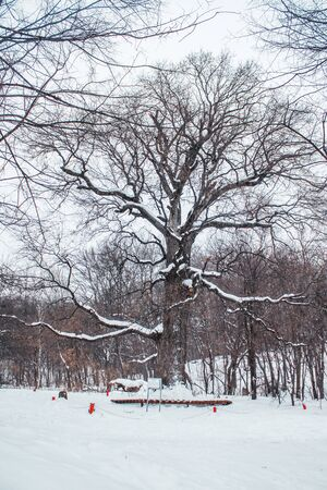 Old oak tree in the age of 585 years standing in the woods in winter.