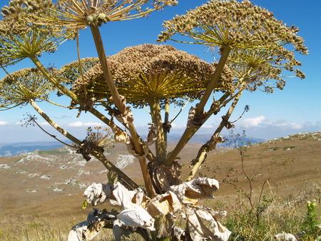plateau of flowers: Giant flower on Chatyr-Dag