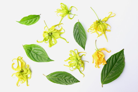Close up of ylang-ylang, cananga odorata or hook flowers with green leaves isolated on white background.