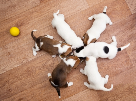 tailings: puppies 2 months old, eating from the plate
