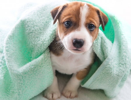 A cute little dog wrapped in a towel