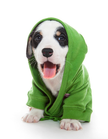 ruffian: Jack Russell dog in a hoodie with a pink tongue