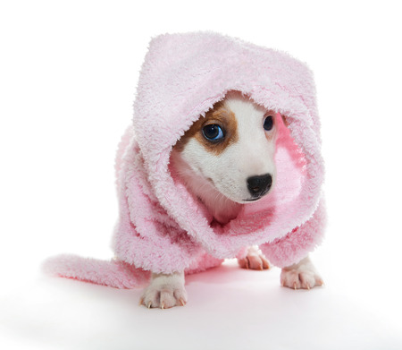 jack russell terrier puppy: Jack Russell Terrier puppy in a pink bathrobe