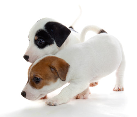 curiously: Jack Russell Terrier puppy curiously explore the world