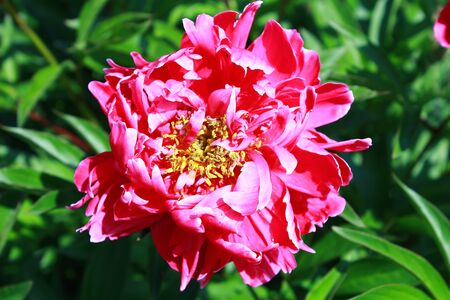 pion: Beautiful pink peony flower on natural green background Stock Photo