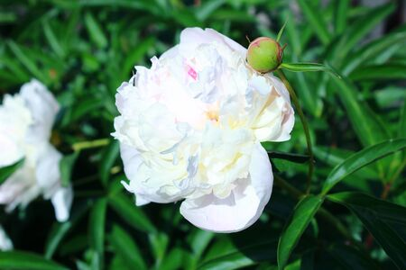 pion: Beautiful white peony flower on natural green background
