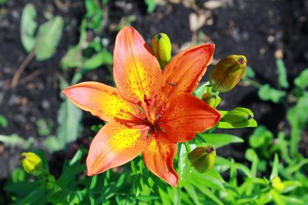 orange lily: wet orange lily on natural green background