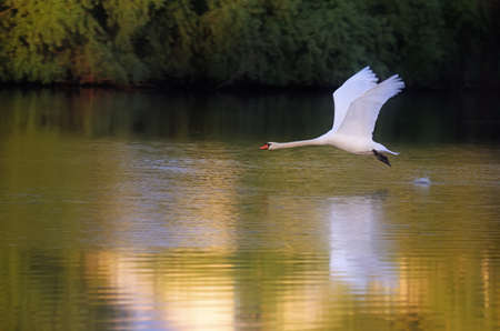 White swan is taking off from the water