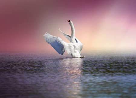 white swan spreading the wings ready to fly