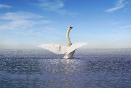 A picture of white swan spreading the wings Banque d'images