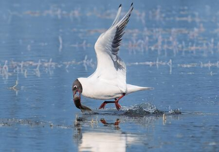 A picture of the black-headed gull catching the fish