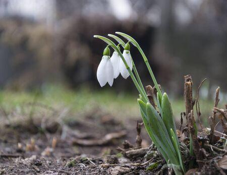 Delicate Snowdrop flower