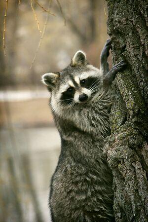 racoon: Racoon na drzewie
