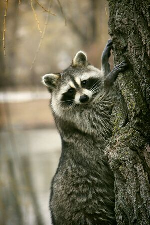 Racoon on the tree Stock Photo
