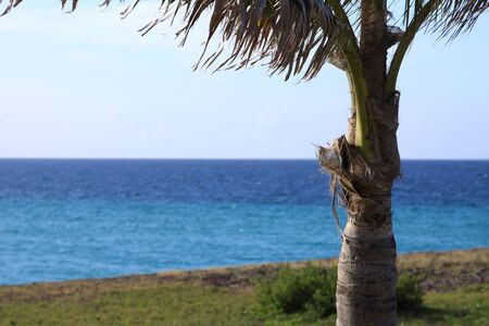 Coconut Palm Tree. Caribbean, Cuba photo