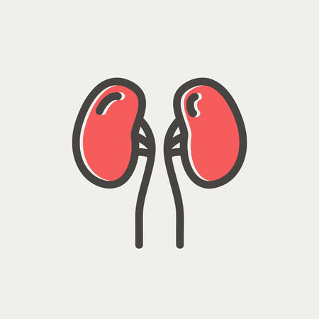 Human kidney icon thin line for web and mobile, modern minimalistic flat design. Vector icon with dark grey outline and offset colour on light grey background.