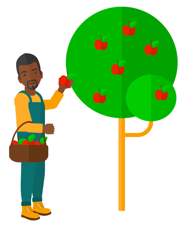 An african-american farmer holding a basket and collecting apples vector flat design illustration isolated on white background. Illustration