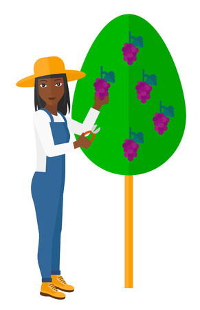 harvesting: An african-american farmer harvesting grapes in vineyard vector flat design illustration isolated on white background.