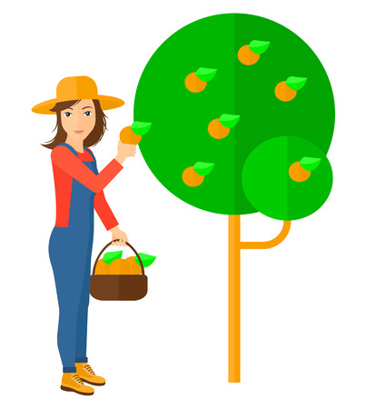 A farmer holding a basket and collecting oranges vector flat design illustration isolated on white background.