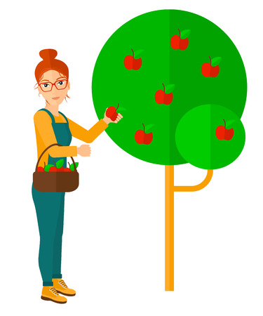 collecting: A farmer holding a basket and collecting apples vector flat design illustration isolated on white background.