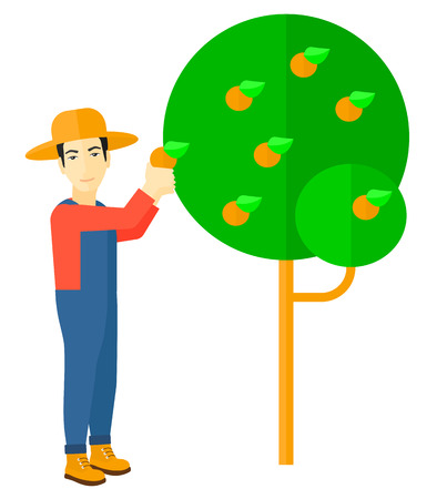 orange trees: An asian farmer holding a basket and collecting oranges vector flat design illustration isolated on white background.