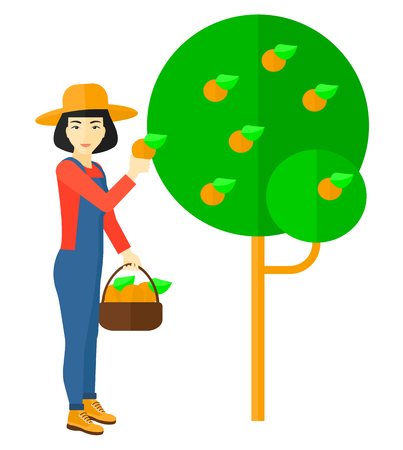 asian farmer: An asian farmer holding a basket and collecting oranges vector flat design illustration isolated on white background.