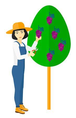 asian farmer: An asian farmer harvesting grapes in vineyard vector flat design illustration isolated on white background. Illustration
