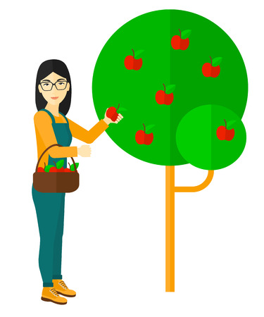 asian farmer: An asian farmer holding a basket and collecting apples vector flat design illustration isolated on white background. Illustration