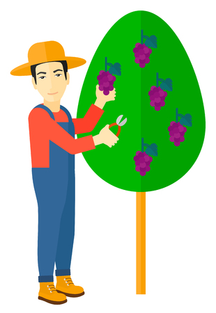 grape fruit: An asian farmer harvesting grapes in vineyard vector flat design illustration isolated on white background. Illustration