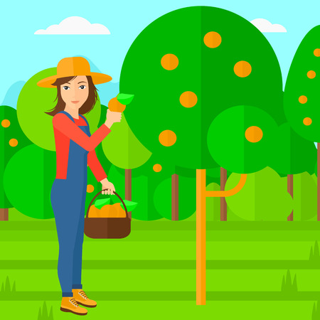 collecting: A woman holding a basket and collecting oranges vector flat design illustration. Square layout.