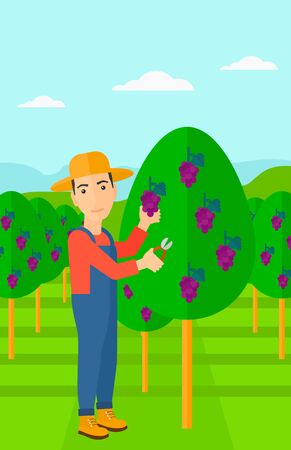 grape fruit: A man harvesting grapes in vineyard vector flat design illustration. Vertical layout.