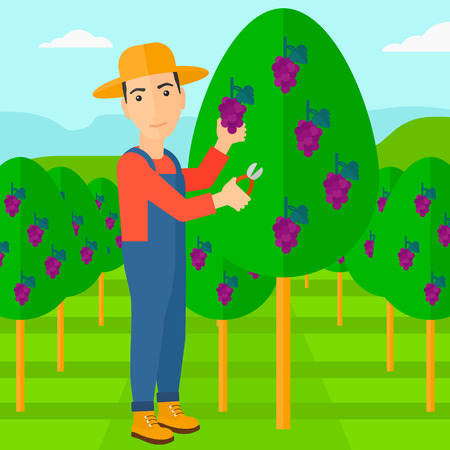 harvesting: A man harvesting grapes in vineyard vector flat design illustration. Square layout. Illustration