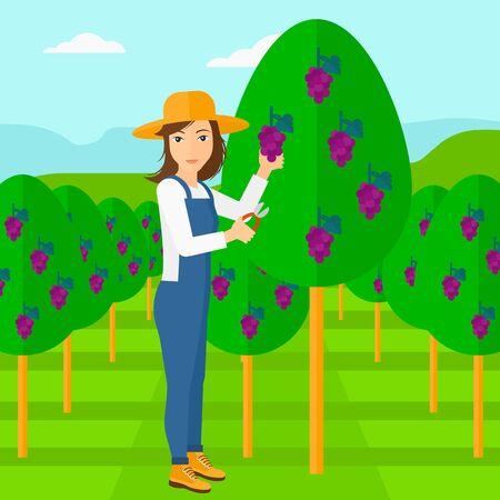 albero da frutto: Una donna raccolta uva in vigna design piatto illustrazione vettoriale. pianta quadrata. Vettoriali