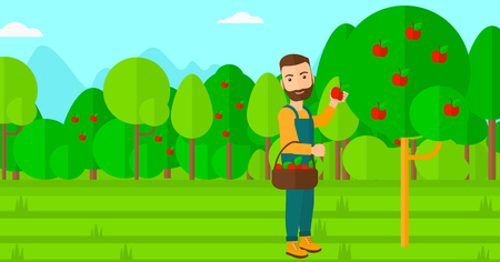 picking fruit: A hipster man with the beard holding a basket and collecting apples in fruit garden vector flat design illustration. Horizontal layout. Illustration