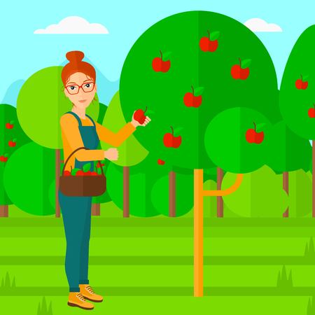 picking fruit: A woman holding a basket and collecting apples in fruit garden vector flat design illustration. Square layout.