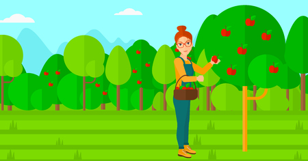 picking fruit: A woman holding a basket and collecting apples in fruit garden vector flat design illustration. Horizontal layout.