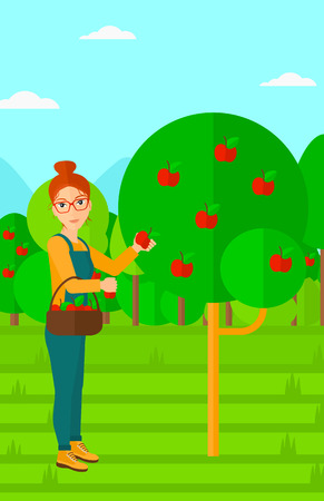 picking fruit: A woman holding a basket and collecting apples in fruit garden vector flat design illustration. Vertical layout.
