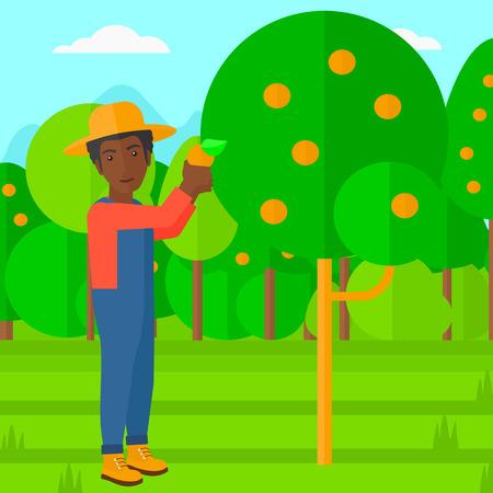 arboles frutales: Un hombre afroamericano que sostiene una cesta y la recolecci�n de las naranjas ilustraci�n vectorial dise�o plano. de planta cuadrada.