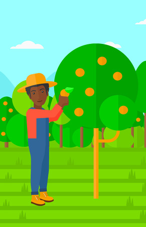 orange fruit: An african-american man holding a basket and collecting oranges vector flat design illustration. Vertical layout.