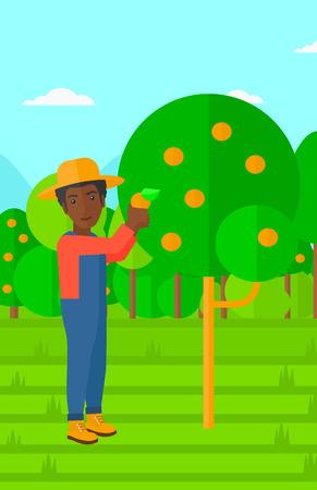 arboles frutales: Un hombre afroamericano que sostiene una cesta y la recolecci�n de las naranjas ilustraci�n vectorial dise�o plano. disposici�n vertical.