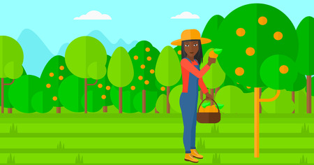 orange fruit: An african-american woman holding a basket and collecting oranges vector flat design illustration. Horizontal layout. Illustration