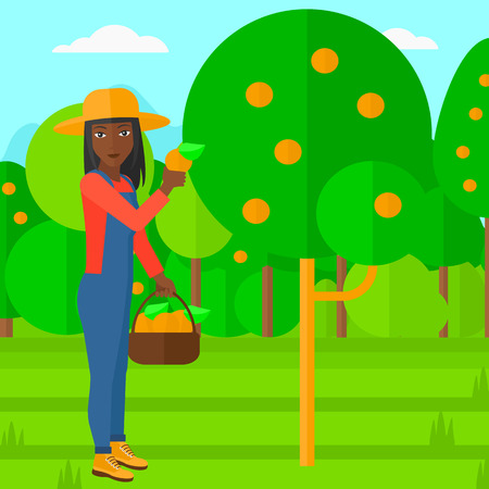 naranja fruta: An african-american woman holding a basket and collecting oranges vector flat design illustration. Square layout.