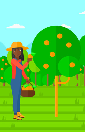collecting: An african-american woman holding a basket and collecting oranges vector flat design illustration. Vertical layout. Illustration
