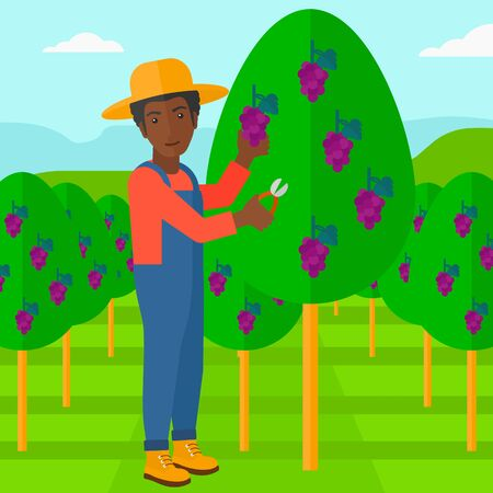 fruit tree: An african-american man harvesting grapes in vineyard vector flat design illustration. Square layout. Illustration