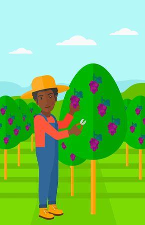 harvesting: An african-american man harvesting grapes in vineyard vector flat design illustration. Vertical layout.